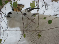 mountain goat in snow